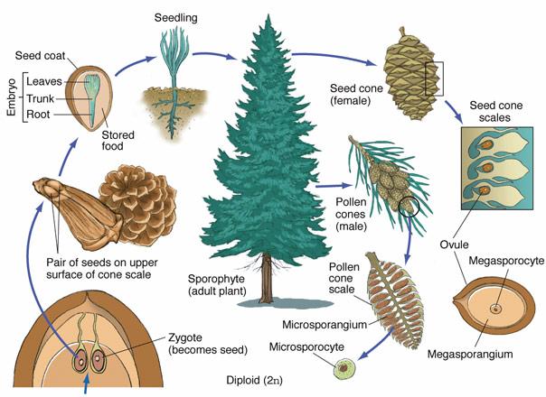 Pine Tree Life Cycle Drawing Sketch Image Illustration