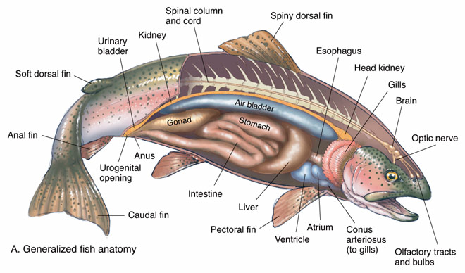 Fish Internal Organs Diagram http://www.biographixmedia.com/biology/trout-fish-anatomy.html