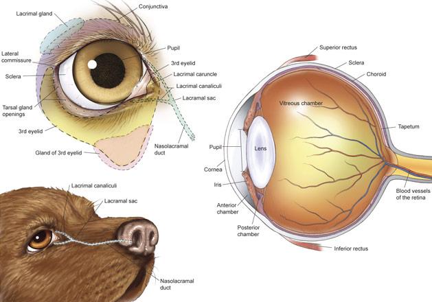 Feline Eye Anatomy Diagram Reinvent Your Wiring Diagram
