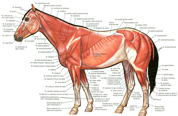 Horse Muscles Superficial Drawing Sketch Image